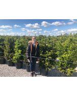 Yew Hedging 120-140 cm pot grown