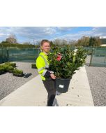 Rhododendron Cat. Lord Roberts 20 Litre Pot