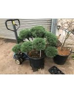 Pinus Sylvestris Watereri Bonsai 65 Litre Pot