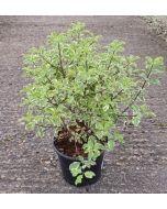 Pittosporum Tenuifolium Variegatum 15 Litre Pot