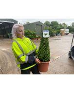 Buxus Cone 60/70cm 9 Litre Pot Grown