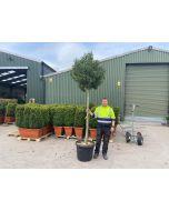 Prunus Lusitanica Myrtifolia 3/4 Standard 35 Litre Pot 16/18G