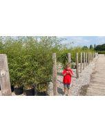 Bamboo Phyllostachys Aureosulcata Aureocaulis 25 Litre Pot 1.80m