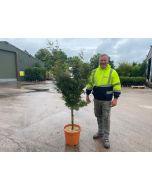 Acer palmatum Jerre Schwartz 14 Litre