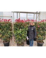 Photinia Compacta Living Hedge Panel 35 Litre Pot 120x70cm