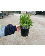 Salvia Sensation Deep Rose 2 Litre Pot