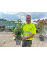 Azalea knaphill Hortulanus Witte 5 Litre Pot