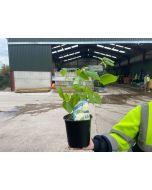 Hydrangea Arborescens Annabelle 2 Litre Pot