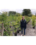 Green Beech 150-175cm 20 Litre Pot