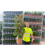 Magnolia Grandiflora 9 Litre Pot