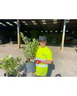 Hydrangea Paniculata Pinky Winky 9 Litre Pot