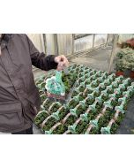 Pachysandra Green Sheen 9 cm Pot X 6 Plant Tray