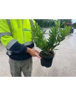 Prunus Otto Luyken 3 Litre Pot