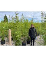 Bamboo Phyllostachys Aurea 25 Litre Pot 190-210cm