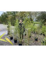 Phyllostachys Bissettii Bamboo 9 Litre Po