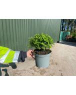 Pittosporum Tenuifolium Pom Pom 5 Litre Pot