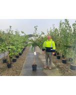 Prunus subhirtella Autumnalis Rosea 15 Litre
