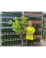 Magnolia Susan 15 Litre Pot