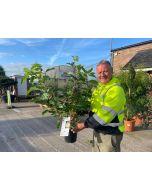 Hydrangea Paniculata Phantom 4.5 Litre Pot