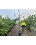 Acer Platanoides Drummondii 15 Litre Pot