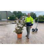 Acer palmatum Shaina 35 Litre Pot