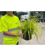 Carex Elata Aurea 5 Litre Pot