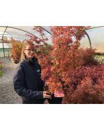 Acer palmatum Jerre Schwartz 7.5 Litre Pot