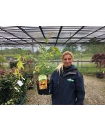 Acer palmatum Katsura 3 Litre Pot