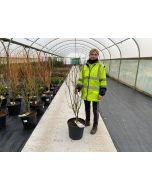 Acer palmatum Phoenix 20 Litre Pot