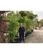 Acer palmatum Sangokaku 45 Litre Pot