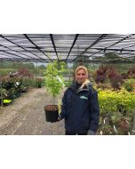 Acer palmatum Summer Gold 3 Litre Pot