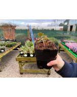 Aconitum Carmichaelii 11 Cm Pot