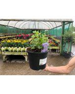 Adenophora Gaudi Violet 3 Litre Pot
