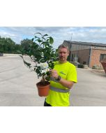 Camellia Japonica Nobilissima 3 Litre Pot