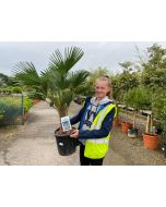 Trachycarpus Wagnerianus 10 Litre Pot 15-20cm Trunk