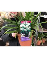 Agapanthus African White 4 Litre Pot