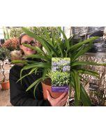 Agapanthus African Blue 4 Litre Pot