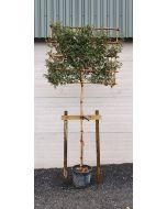 Heavy Duty Tree Staking Kit