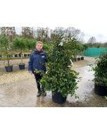 Camellia Japonica Bianco 45 Litre Pot