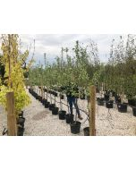 Apple Bramleys Seedling 15 Litre Pot