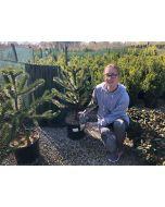 Araucaria Araucana 15 Litre Pot 70/80cm