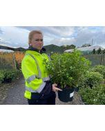 Azalea Japonica Gilbert Mullie 4.5 Litre Pot