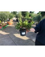 Azalea Japonica Gorbella 2 Litre Pot
