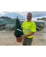 Yew Cone 7.5 Litre Pot 50-60cm