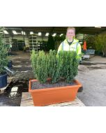 English Yew Planted Screen 1 metre long x 1.2 Metre Tall (inc planter)