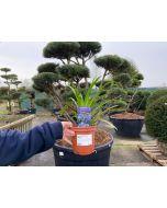 Agapanthus African Blue 2 Litre Pot