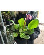 Bergenia Cordifolia Purpurea 2 Litre Pot