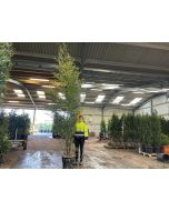 Phyllostachys Nigra Black Bamboo 4 - 4.5m