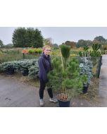 Pinus Nigra Nigra 25 Litre Pot