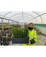 Box Hedging Instant Hedge Trough 30cm Tall & 45cm Long